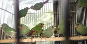 日の丸鳥ルチノspの雛達 - botan123 の BirdRoom