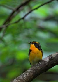キビタキ - 今日も鳥撮り