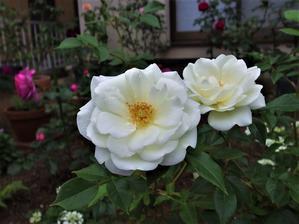 シュラブの時代(?)にも、元気なフロリバンダたち ② (5月下旬) - 小さな庭でバラさんたちと