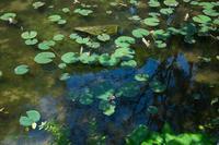 緑の池 ♪ - Lovely Poodle