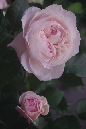 切花品種「シェリル」とF&Gローズ「リベルラ」 - お散歩日和ときどきお昼寝