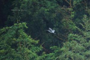 雨のヤマセミ撮影 - TSUCHIYA BLOG