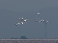 クロツラヘラサギ群舞     干潟よか公園 - シエロの鳥ノート