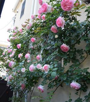 お庭のバラとsarasaとcotton^^ - my story***