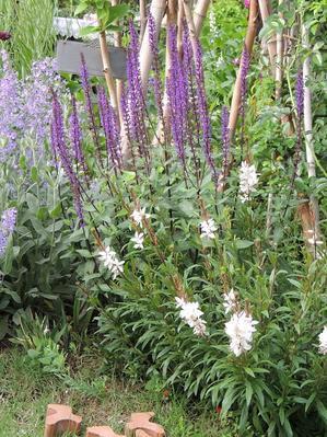 きれいに咲いていた、コンパクトガウラ,゜.:。+゜ - ベルバーンに魅せられて
