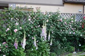 今年はダム・ドゥ・シュノンソーがよく咲きました!だむ - Doriのお気に入り