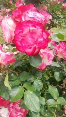 薔薇ジュビレデュプリンセスドゥモナコ。 - ピーラスの気ままなライフ