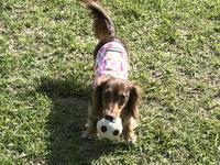 17年5月26日 高原で遊んだよ♪ - 旅行犬 さくら 桃子 あんず 日記