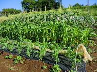 """トウモロコシに雌花...タマネギ収穫 - 〔家庭菜園日記〕 """"すろーらいふ"""" 茅ケ崎のはまちゃん. 野菜つくり"""