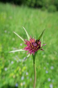 不思議めずらし花の名は、トスカーナ - ペルージャ発 なおこの絵日記 - Fotoblog da Perugia