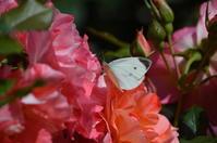 花とモンシロチョウ - 超蝶