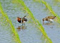 タマシギ Ⅰ - 野鳥との出会い