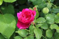 雨の中咲いたダーシーバッセル - my small garden~sugar plum~