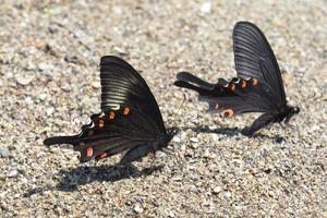カラスアゲハが蝶種を超えてオナガアゲハに求愛? - TOM'S Photo