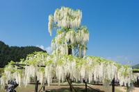 白井大町藤公園 - ぐっちのBlog