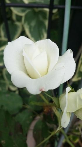 あんずの薔薇🌹 - ふわふわ綿あめの天使たち
