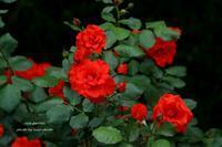 薔薇ラスト! *赤い薔薇 - 静かな時間