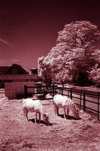 2017年6月1日 赤外線の中で草を食む馬たち - Silver Oblivion
