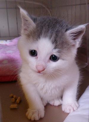 子猫を保護する難しさ。 - 飼い主のいない猫たち