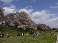 背割り提の桜 その弐 - Day by  day