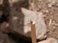 オオアオゾウムシは可愛い~ - 虫と一緒にバラ育て バラと虫たちの世界 小さな庭で