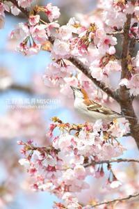 花見鳥No3  桜&ニュウナイスズメ - 花野鳥風月MISCHEH
