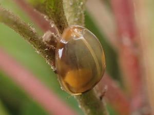 羽化したばかりのナミテントウHarmonia axyridis - 写ればおっけー。コンデジで虫写真