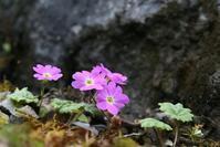 シナノコザクラ その2 - 花鳥風景