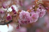 八重桜 - Imagine