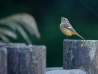 ジョウビタキ - Nobbyの鳥ぶろぐ