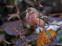 ベニマシコ - Nobbyの鳥ぶろぐ