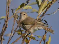 チフチャフ - Nobbyの鳥ぶろぐ