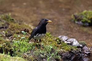 水浴びでも:クロツグミ - 武蔵野の野鳥