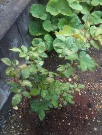 5月の薔薇挿し木3年目 - とある情景模型のブログ
