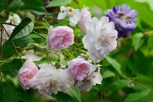 桜の様な美しさポールズ・ヒマラヤン・ムスク&アメリカ藤アメジスト・フォール、オールドローズとジキタリス達の重なるガゼボの風景。。。 - 元英国在住アート・セラピストが造る癒しの庭