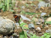 新生テングチョウ - 秩父の蝶