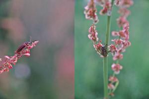 田圃の畦でコメツキを見ました - 昆虫ブログ むし探検広場