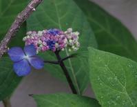 水無月は紫陽花 - hibariの巣