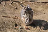 シマオイワワラビー三頭目の赤ちゃん - 続々・動物園ありマス。