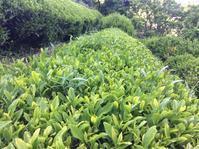 お茶仕事&ポスト移動&田んぼの除草機制作&シカ - にじまる食堂 & にじまる農園