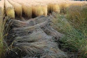手刈りの麦刈りは厳しいかな。 - 甲府の野菜畑