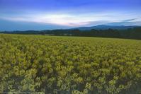 朝焼けの菜の花畑 - Photo 森の声