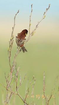 シマアオジ - 北の野鳥たち
