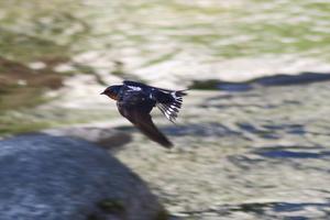 ツバメ - 川の鳥見日記3
