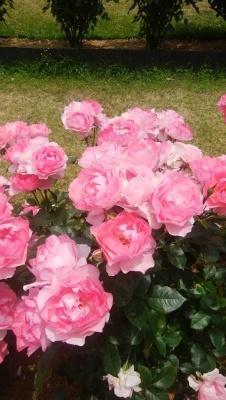 薔薇シャルダンドゥフランス。 - ピーラスの気ままなライフ