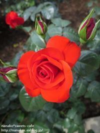 バラ園~②深紅の赤いバラ - nanako*sweets-cafe♪