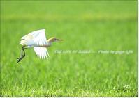 初夏の草地に映える、亜麻色の美しいサギ - THE LIFE OF BIRDS --- 野鳥つれづれ記