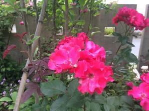 薔薇の茶会 - サヴァンナの愉快な毎日