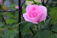 ガートルードジェキルとムンステッドの開花 - my small garden~sugar plum~