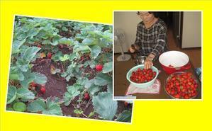 イチゴ畑が大変なことに - 父からの配信